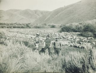 Sheep Ranching in the West